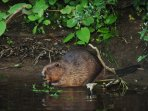 Beaver on the River Ericht within walking distance of the holiday cottage