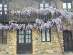 La fachada de la casa con la glicinia florecida.
