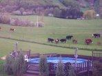 Thundering herd:  my neighbor's cows.