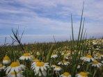 Prato fiorito sulla falesia a ridosso della spiaggia - particolare -