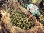 olive harvest 2015