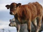 vache autours de la maison