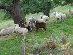 moutons en bordure de la maison