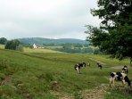 les vaches en pature
