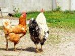 les poules avec le coq