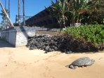 One of many turtles that make their home in the ocean in front of the Kulakane