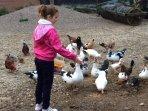 activité proposée aux enfants: nourrir la volaille et découverte  du poulailler+ ramassage des œufs