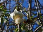 la fleur du baobab