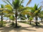 Beach area with young coconut tress