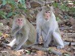 singes sauvages vivants dans le parc. (très dociles).