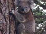We have our own family of koalas in the garden