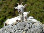 Our infamous Kashmir goats.