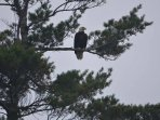 one of our bald eagles...