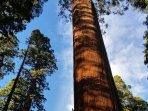 Calaveras Big Trees State Park is right down the road