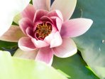 One of the gorgeous waterlily growing in our Zen Garden
