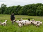 Sheep farming at Beechlawn