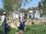 herder with his sheep
