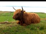 Typical Highland Coo enjoying the Highland sunshine.