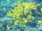 Snorkel with beautiful tropical fish.  The yellow tang are the reason Kona is called the gold coast.
