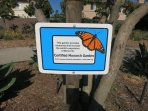 Even a garden with  plants the monarchs need