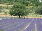 Lavender fields are a must to be seen close to L'isle sur la Sorgue : Gordes or Ventoux areas