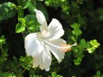 White iris in  the garden