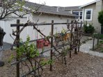 Table-Grape Vines