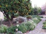 Orange Tree in February
