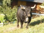 Typical Valais Cow which pastures on mountain in Summer. They hold Cow Fights as well!