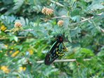 male cairns birdwing butterfly on calliandra