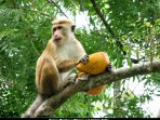 Monkey enjoying a stolen  King Coconut