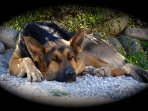 Cody, our rescued German Shepherd, a very quiet, gentle boy