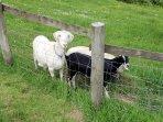 Friendly goats