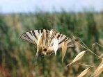 Le nostre farfalle di campagna.