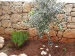 Der Olivenbaum wurde 2015 gepflanzt.
