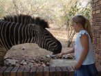 Or feeding a zebra by hand!
