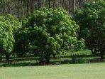 Mango trees.