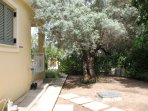 our olive tree