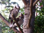 Lots of laughing Kookaburras