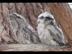 Baby tawny frogmouth and his mother.