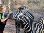 Zebras visiting