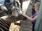 Zebras coming for food and cuddling