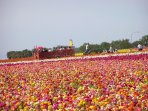Tour the famous Flower Fields! - Courtesy of the Flower Fields at Carlsbad Ranch.
