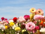 See the flower fields up close and personal! - Courtesy of the Flower Fields at Carlsbad Ranch