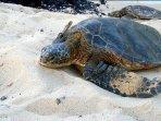 Hawaiian Sea Turtles often rest on the pristine beaches of mauna Lani.