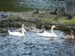 Riverbank Swans