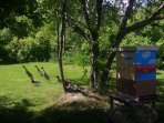 One of our five beehives with some of our free-range ducks in the background.