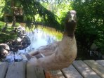 'Darkwing', our most friendly duck who will likely follow you around during your visit.