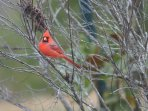 The brilliant red Cardinal is Kentucky's State Bird, one of many who live here year-round.