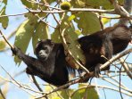 Howler monkeys all around Casa Leon